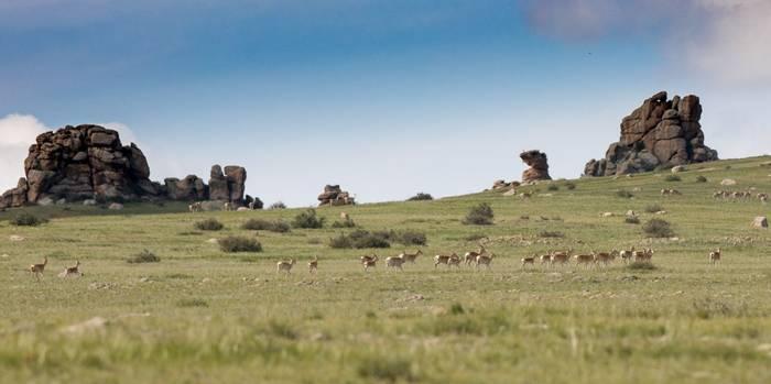 Mongolian Gazelle, Hustai Nuruu NP.jpg