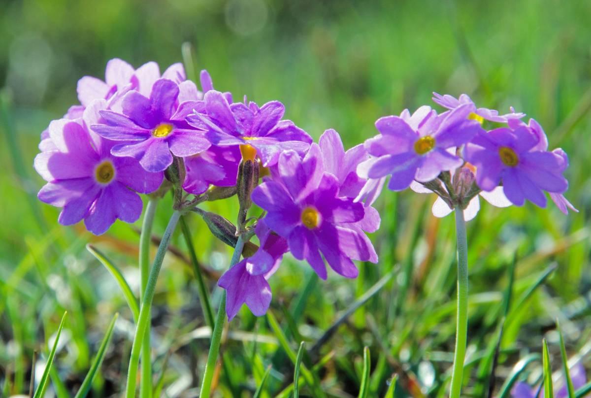 Bird's-eye Primrose (Primula farinosa) England shutterstock_154233476.jpg