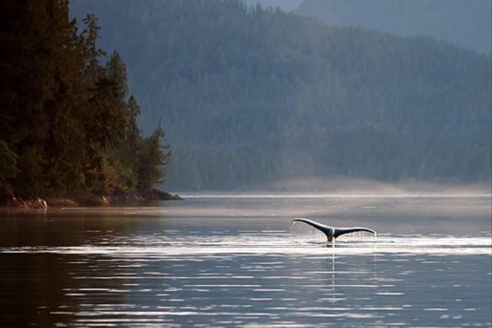 Humpback Whale (Paul Stanbury)