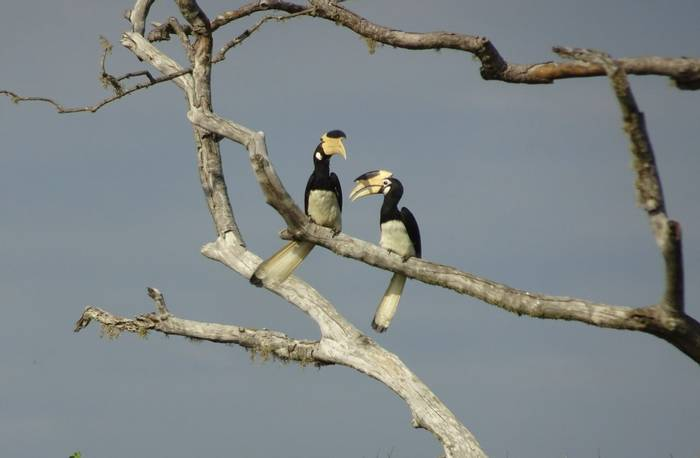 Hornbills (Mary Brewer)