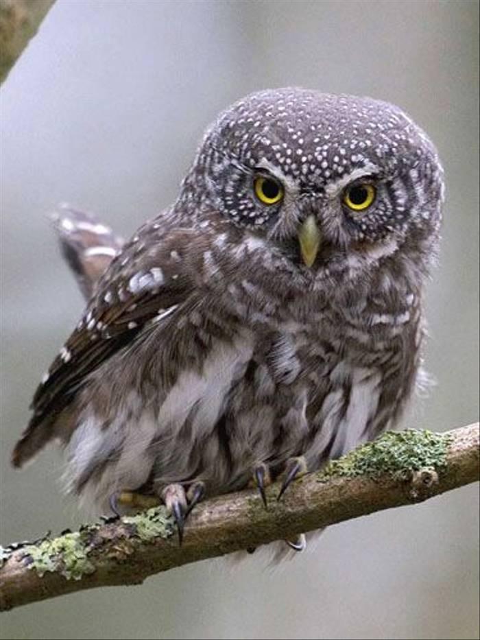 Eurasian Pygmy Owl (Torbjorn Arvidsson)