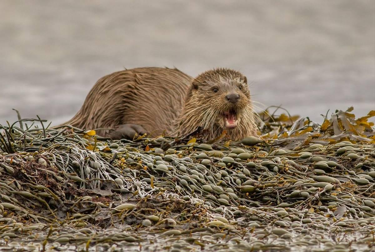 UK17 284 Otter (Lutra Lutra), Loch Na Keal, Mull, Scotland