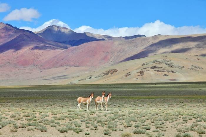 Tibetan Wild Ass, Ladakh