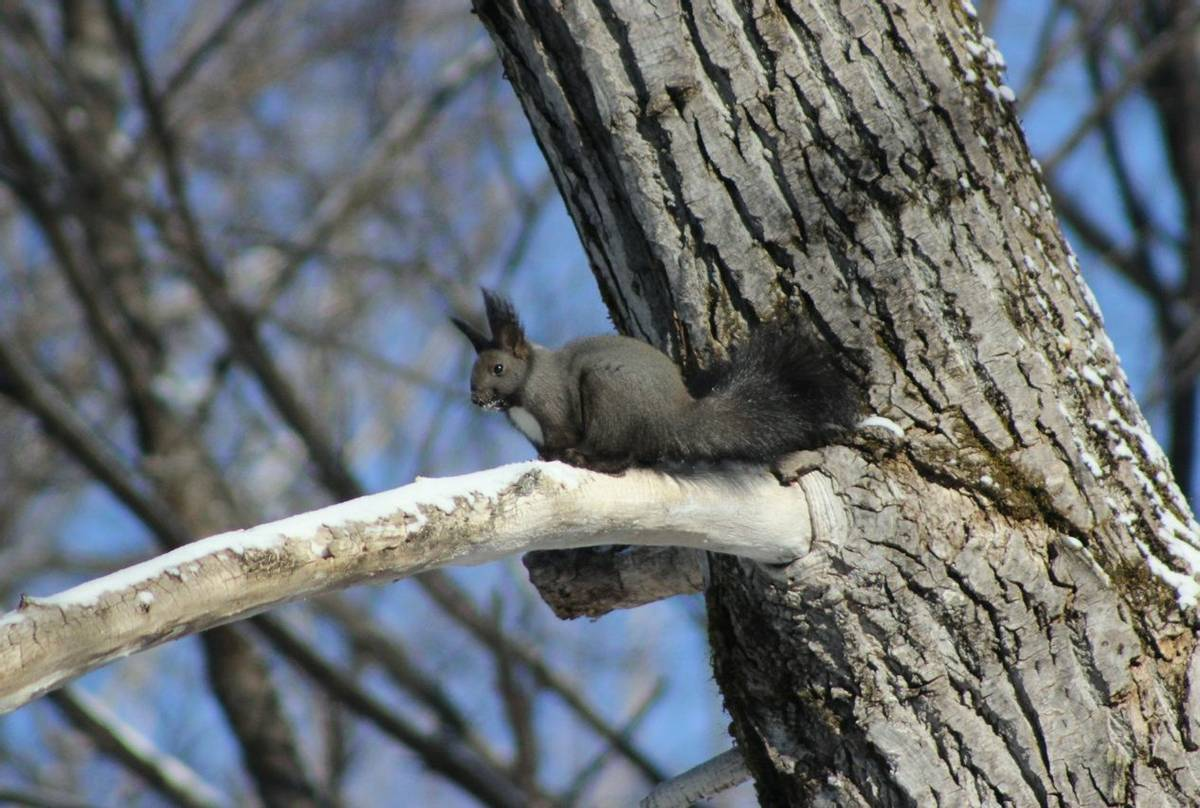 The Dark Local Form Of Eurasian Red Squirrel