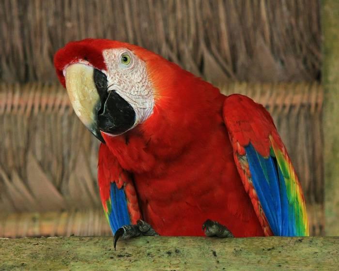 Scarlet Macaw (Robert Davidson).JPG
