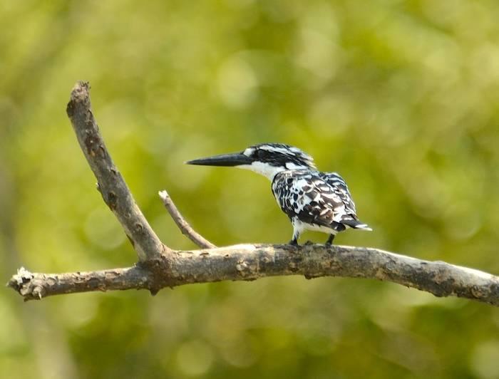 Pied Kingfisher (Pradeep Singh, Sunderban Extension)