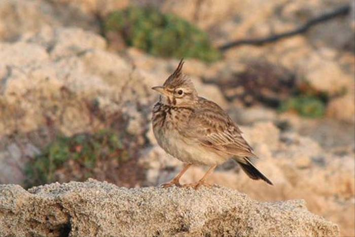 Crested Lark (Alan Outen)