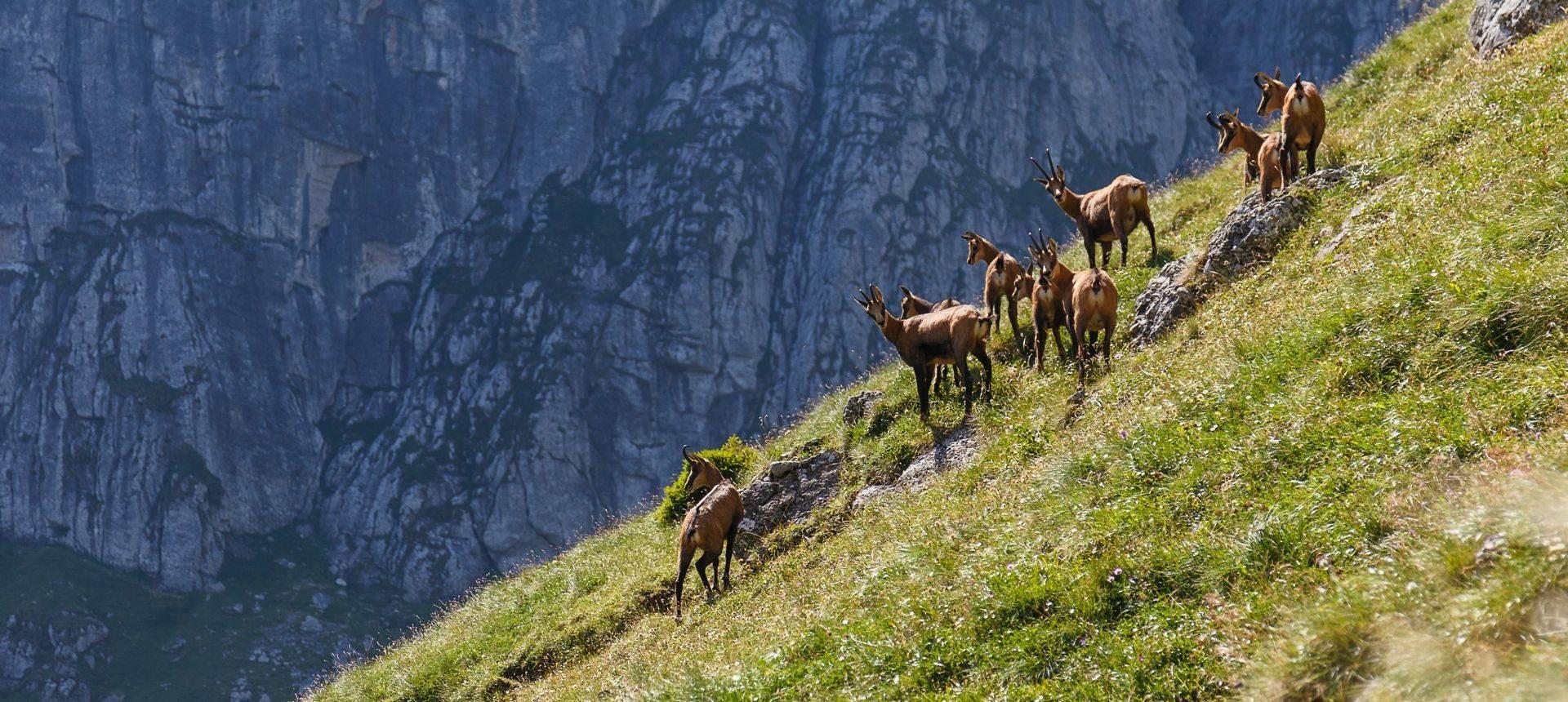 Chamois, Carpathian Mountains, Romania Shutterstock 1091287208