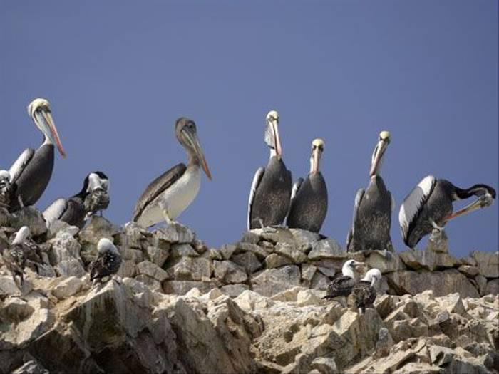 Peruvian Brown Pelican (Peter Price)