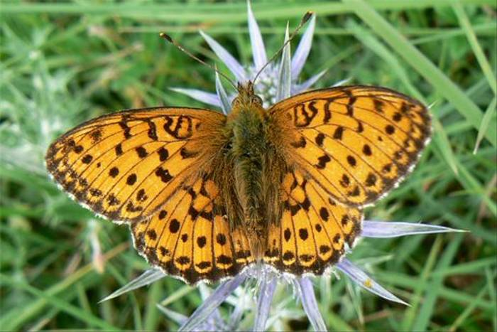 Lesser Marbled Fritillary (Mark Galliott)