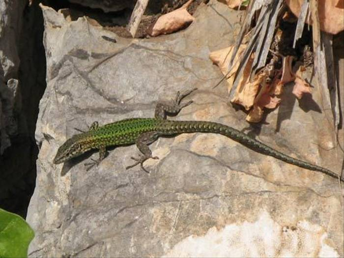 Iberian Wall Lizard (Paul Harmes)
