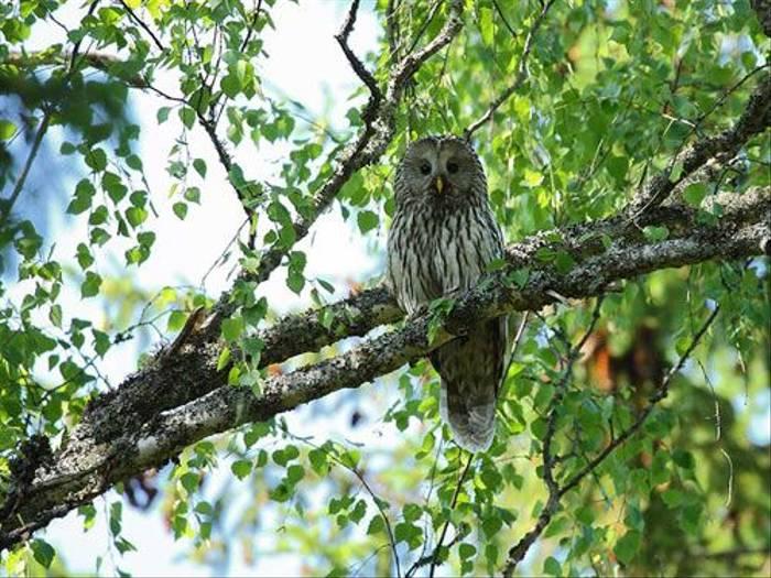 Ural Owl (Glyn Sellors)