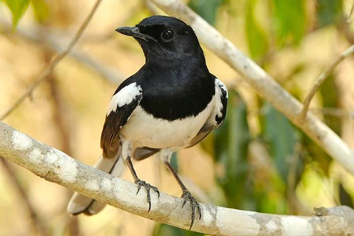Madagascar Magpie Robin (Stephen Woodham)