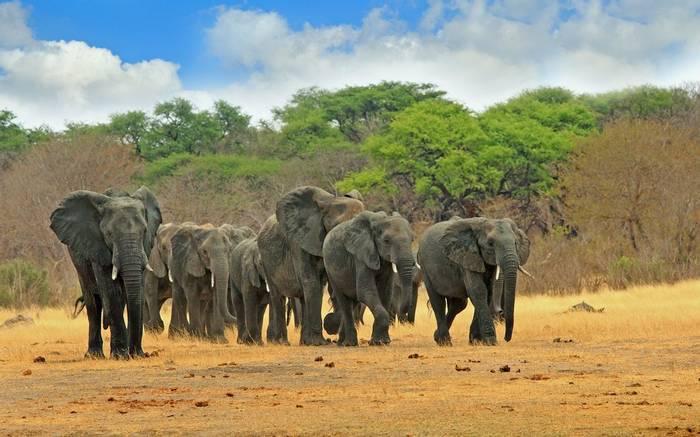 Parade of Elephants,  Hwange plains,  Zimbabwe, Southern Africa shutterstock_517437775.jpg