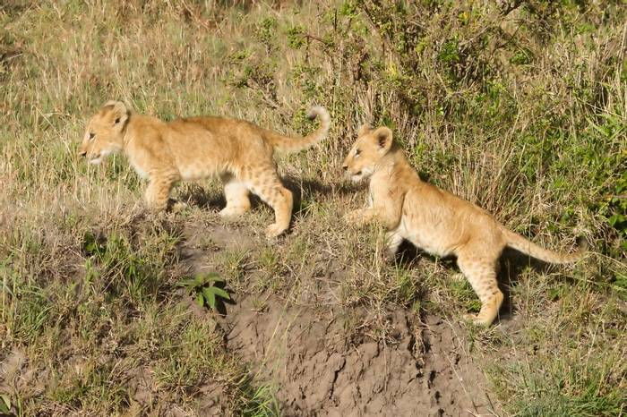 Lion cubs (Colin Brown)