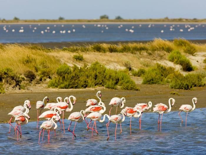 Flamingos, Parc Regional de Camargue, France (Richard Semik).jpg