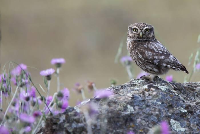Little Owl shutterstock_510300817.jpg