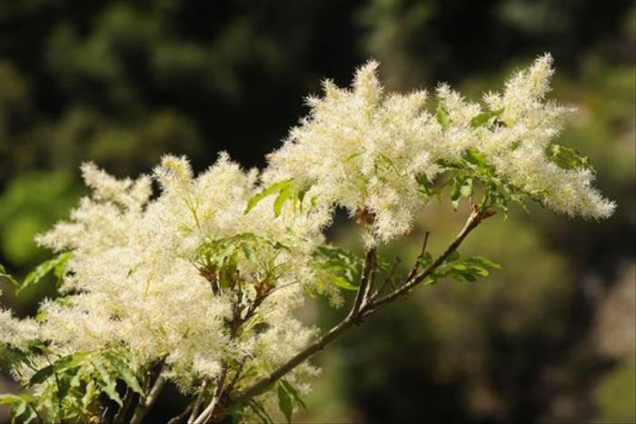 Manna Ash <i>Fraxinus ornus</i> (David Morris)