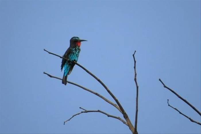 Black Bee-eater (Mike Watson)