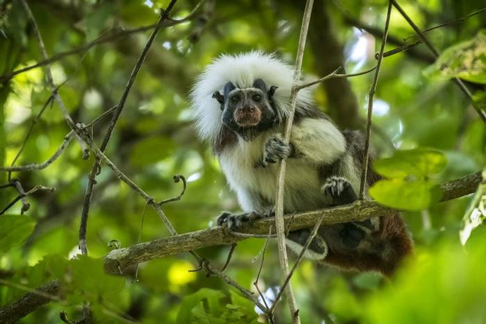 Cotton-top Tamarin (Saguinus oedipus) male with red pollen after feeding on flower nectar, Tayrona National Natural Park, Co…