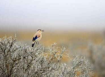 Mongolia - Birding in the Steppes of Genghis Khan