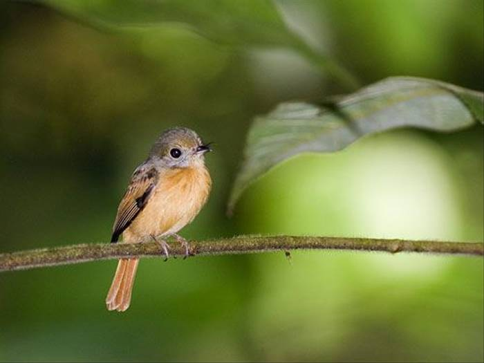 Ruddy-tailed Flycatcher (David Tipling)