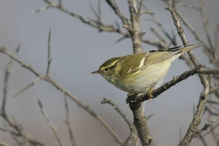 Yellow-browed Warbler (Tim Melling)
