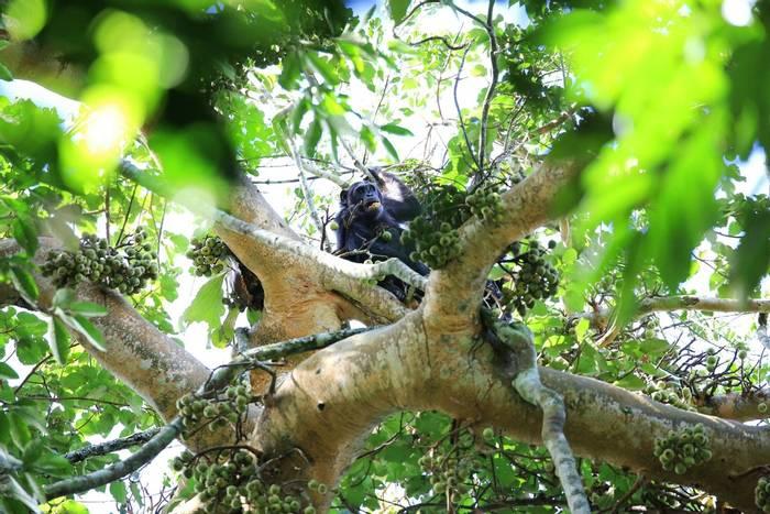 Chimpanzees, Uganda shutterstock_1499731730.jpg