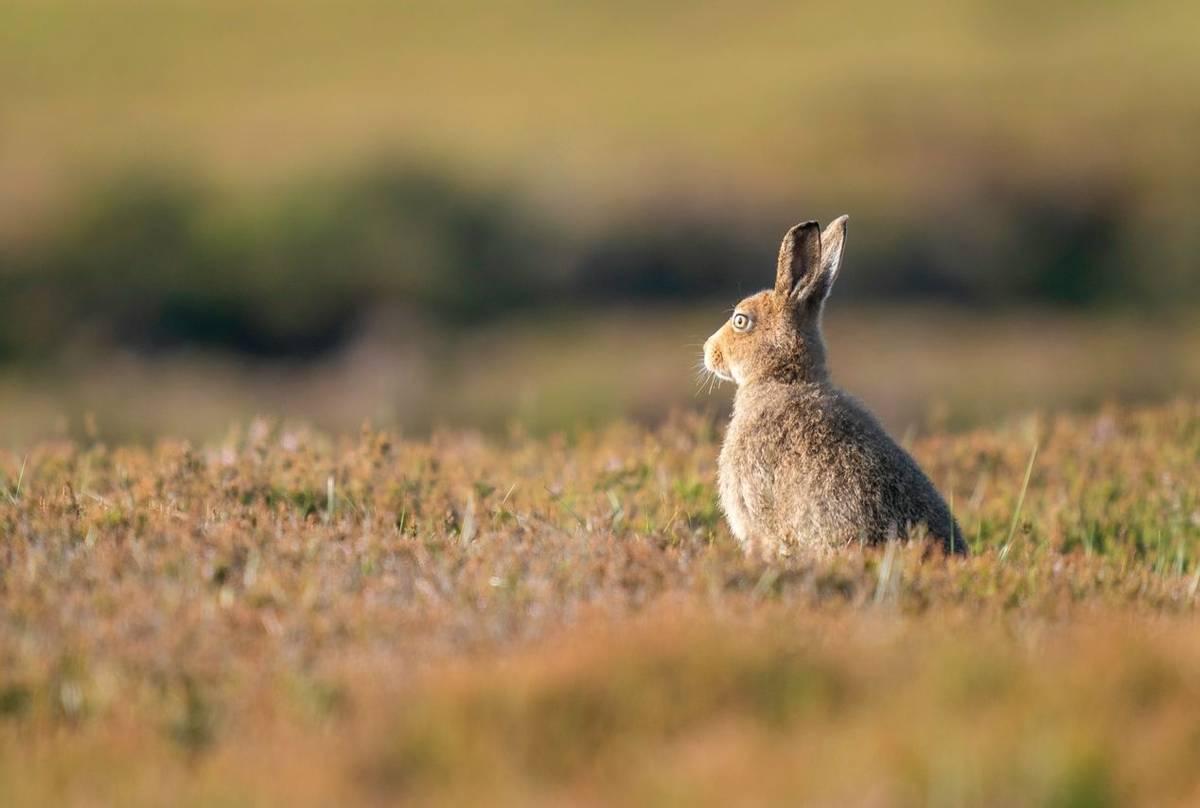 Mountain Hare, UK shutterstock_1698445885.jpg
