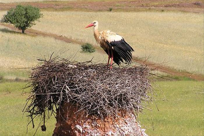 White Stork on nest (Ken Williams)