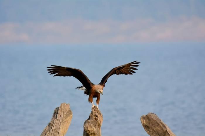 Pallas Fish Eagle at Jim Corbett National Park in India shutterstock_1221243790.jpg