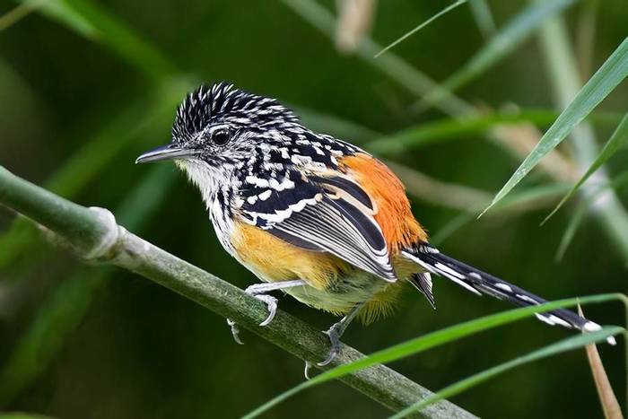 Striated Antbird (Tom Ambrose)