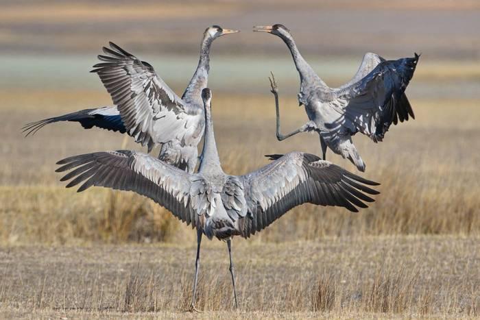 Common Cranes, Gallocanta, Spain shutterstock_1731920626.jpg