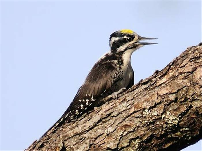 Three-toed Woodpecker (David Fearn)