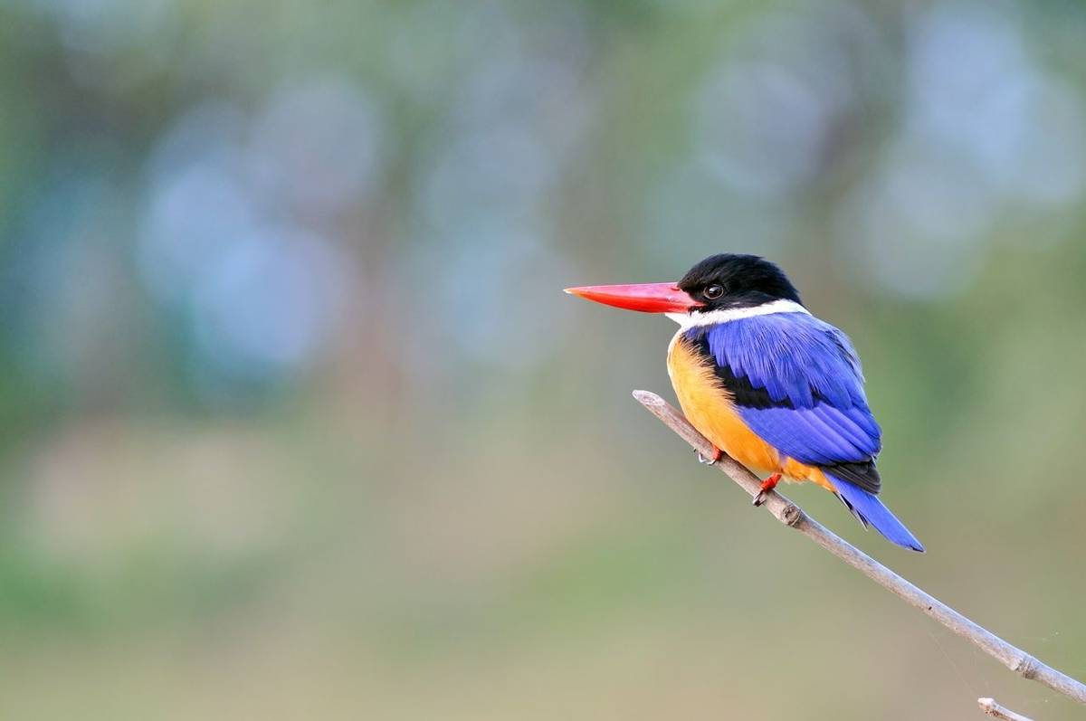 Black Capped Kingfisher Shutterstock 121580899