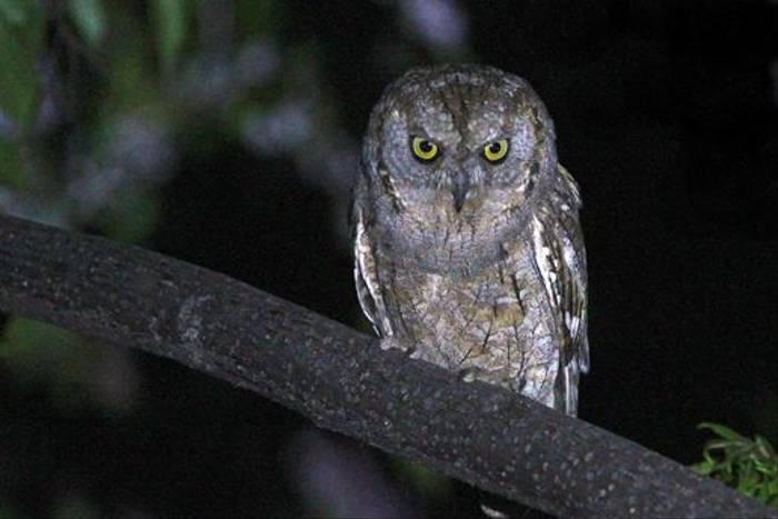 Scops Owl (Stuart Elsom)