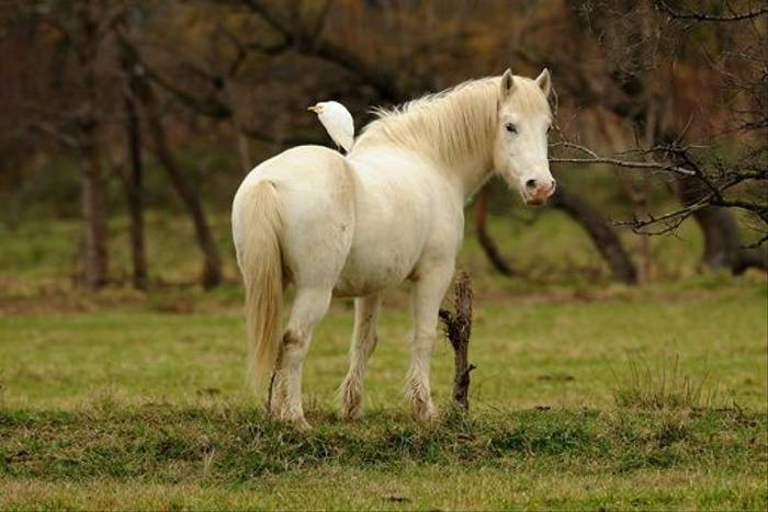 Carmargue White Horse and Cattle Egret (David Morris)