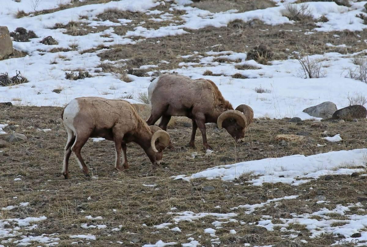 Bighorn sheep_(Peter Dunn)