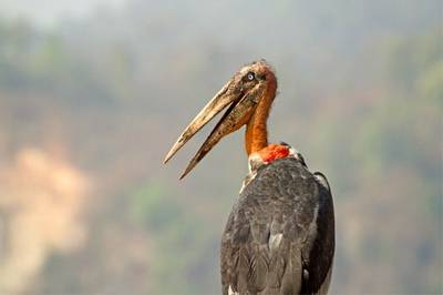 Greater Adjutant Stork by Bret Charman