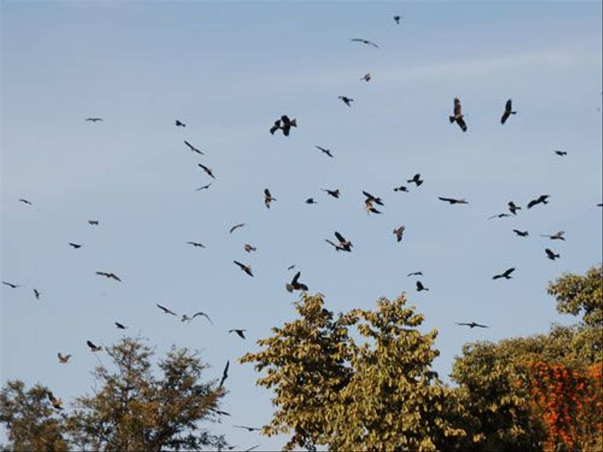 Black Kites (Duncan Stewart)
