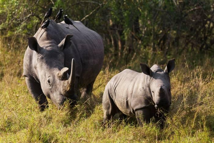 Black Rhinos, Zimbabwe shutterstock_474035455.jpg