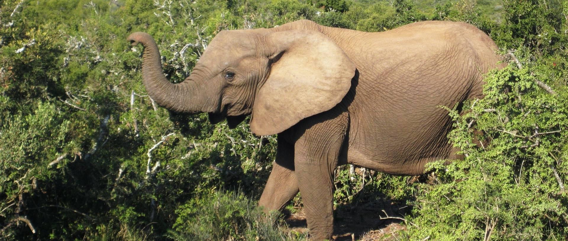 Elephant Addo National Park