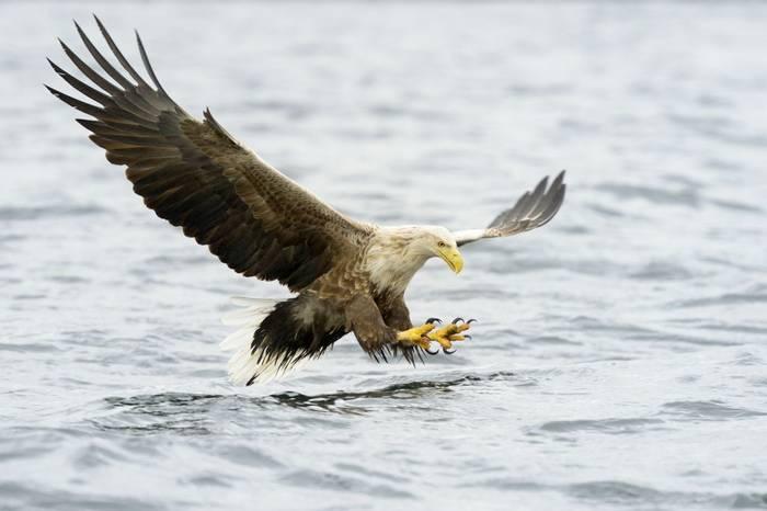 White Tailed Sea Eagle. Shutterstock 190128008