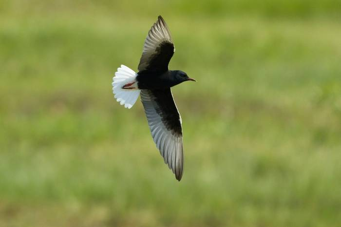 White-winged Tern (Chlidonias leucopterus) at TuraÅ­ Meadow