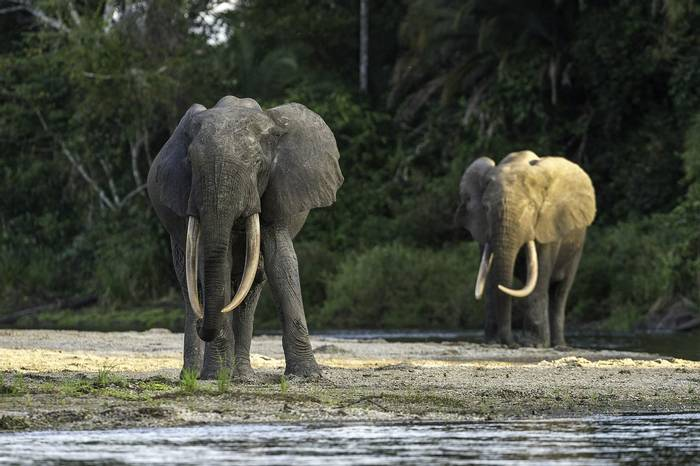 Odzala Discovery Camps   A Beautiful Pair Of Forest Elephants