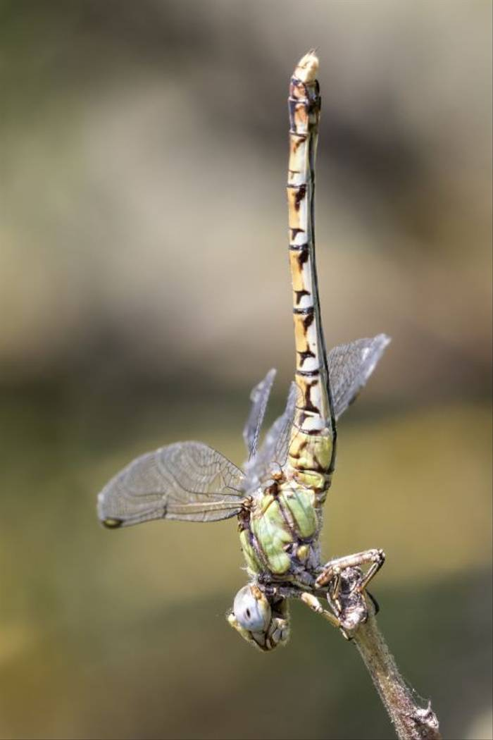 Green Hooktail, Colin Brown
