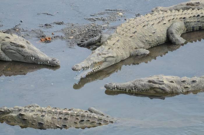 American Crocodiles. Tim Melling.