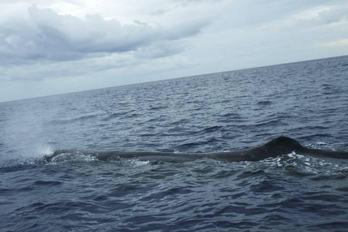 Sperm Whale by Ian Hunt