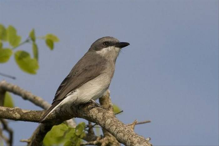 Sri Lanka Wood-shrike - endemic (Colin Brown)