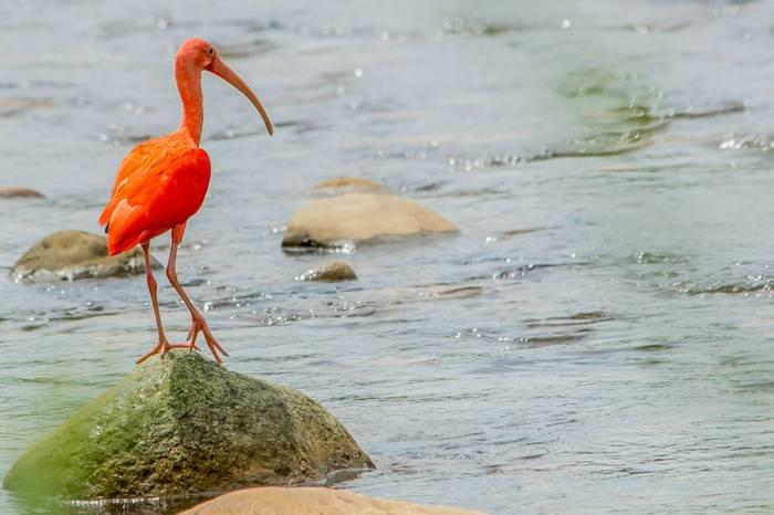 Scarlet Ibis by Ferney Salgado